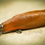 ナメクジの駆除と天敵のカエルとヒルとムカデと蛇について