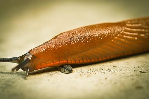 ナメクジ 駆除 天敵 カエル ヒル ムカデ 蛇