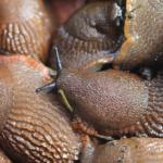 ナメクジの卵と乾燥について