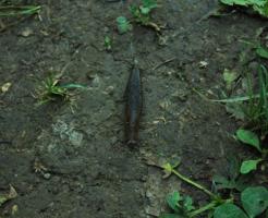 ナメクジ 黒い 長い 小さい