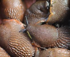 ナメクジ 卵 乾燥